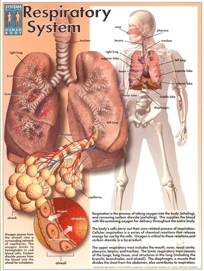 pdf lessons about respiratory system